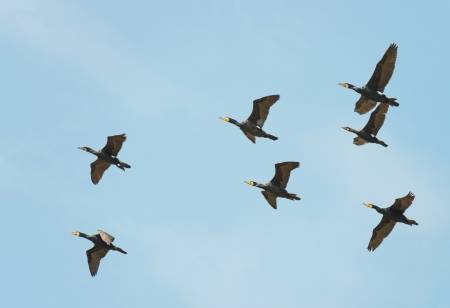 cormorants: Flock of flying cormorants Stock Photo