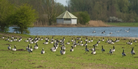 Flock of grazing Barnacle geese along a lake photo