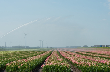 furrow: Blooming tulips in a field in spring Stock Photo