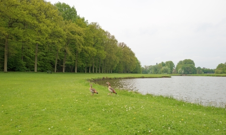Egyptian geese along a river through a park photo