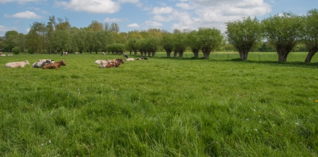 pollard: Pollard willows along a meadow with cows