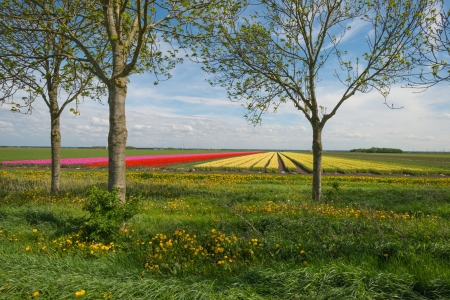 Field of tulips in spring photo