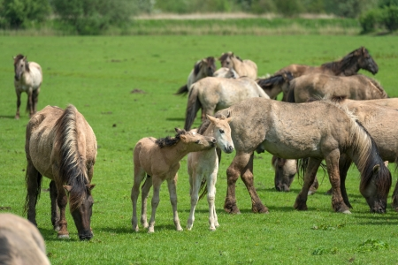 Herd of Konik horses in a field in spring photo