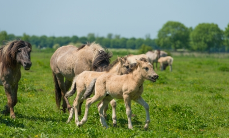 Foals in a herd of wild horses in spring photo
