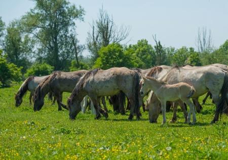 lelystad: Foal in a herd of wild horses in spring