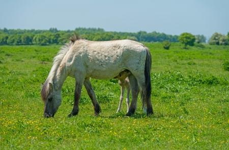Foal drinking milk in a sunny meadow photo