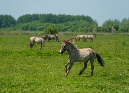 Wild horse running in a sunny meadow photo
