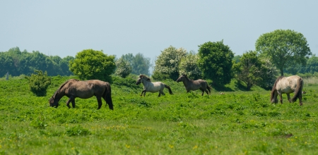 Wild horses running in a sunny meadow photo