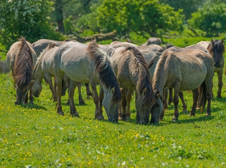 Wild horses in a sunny meadow in spring photo