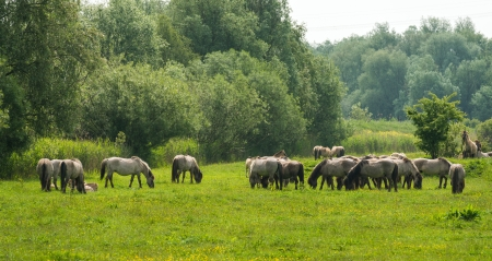 lelystad: Wild horses in a sunny meadow in spring Stock Photo