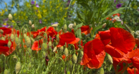 Poppies in a field in summer photo