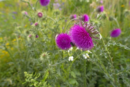 Flowers of a thistle in a field in summer Stock Photo - 20635056