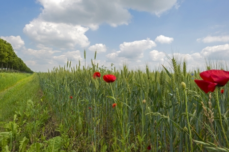 Corn growing on a field in summer Stock Photo - 20635136