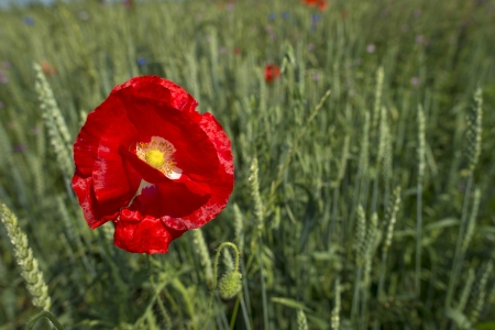 flevoland: Poppy in a field with corn Stock Photo