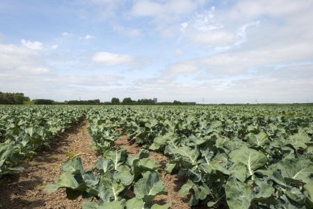 furrow: Vegetables growing on a field near a city Stock Photo
