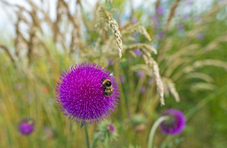 Bee on the flower of a thistle in a field photo