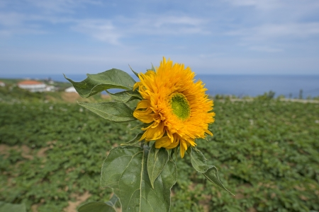 agriculture azores: Sunflower in a field along the Atlantic Ocean