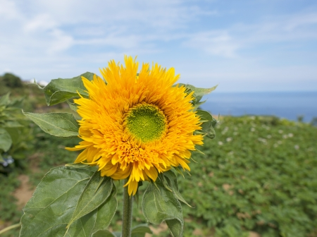 Sunflower in a field along the Atlantic Ocean photo