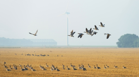 Flock of geese flying in summer photo