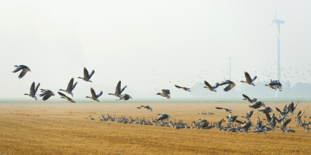 Flock of geese flying in summer Stock Photo
