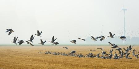 Flock of geese flying in summer Stockfoto