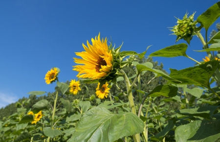 Sunflower blooms in summer photo