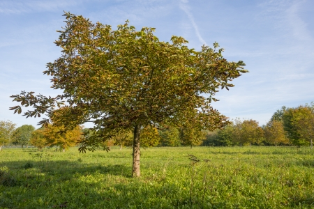 chestnut tree: Chestnut tree in a sunny meadow at fall Stock Photo