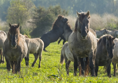 Wild Konik horses in a meadow at fall photo