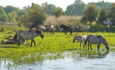 Wild horses drinking in a lake at fall