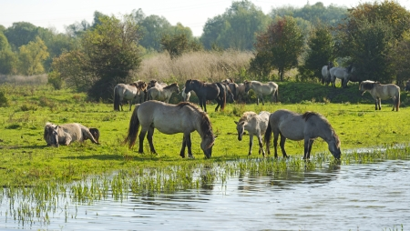 Wild horses drinking in a lake at fall photo