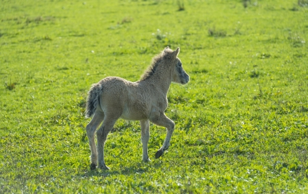 Wild Konik foal in a sunny meadow at fall photo