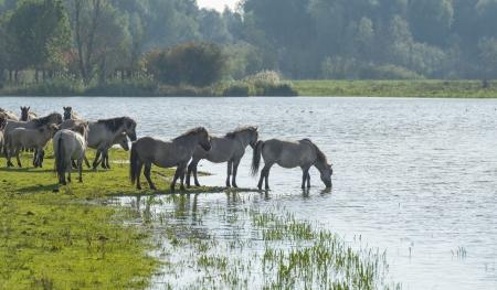 Wild horses walking in a lake at fall photo