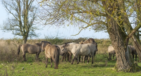 Wild Konik horses in a field with trees at fall