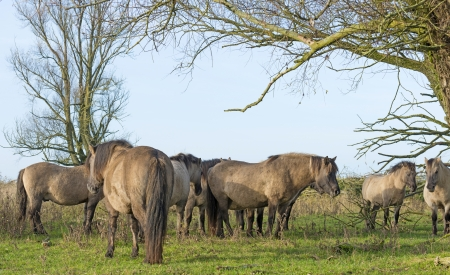Wild Konik horses in a field with trees at fall photo