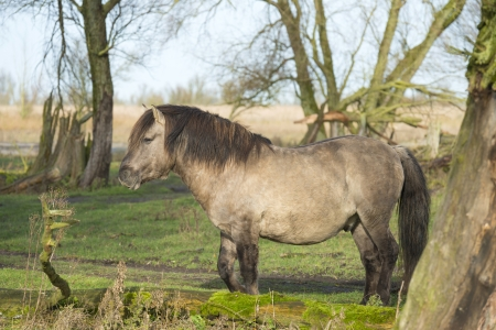 Wild Konik horse in a field with trees at fall photo