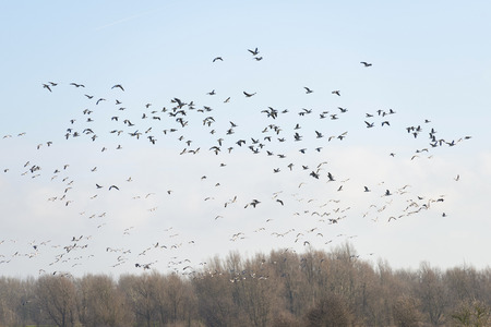 lelystad: Geese flying over nature in winter Stock Photo