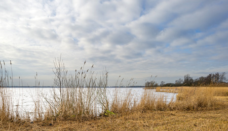 Reed bed along a lake in winter photo