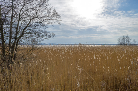 phragmites: Reed bed along a lake in winter
