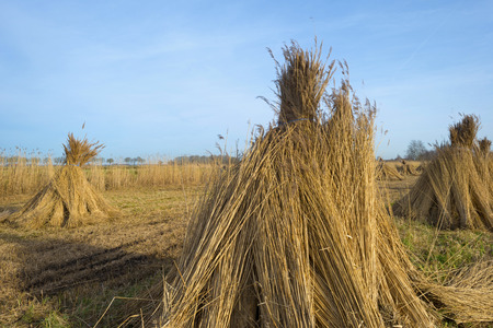 phragmites: Bundled common reed on a field in winter