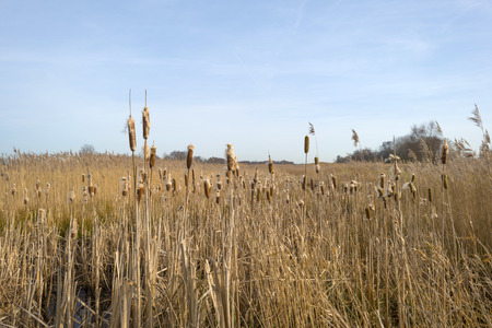 phragmites: Bulrush in a field with reed in winter