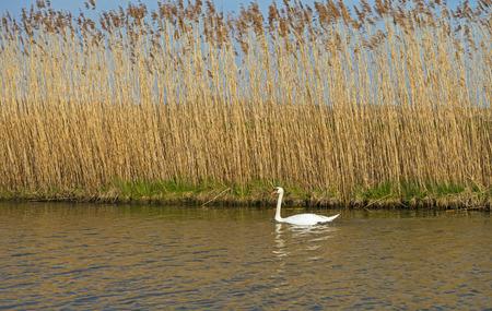 Swan swimming along reed in winter Stockfoto