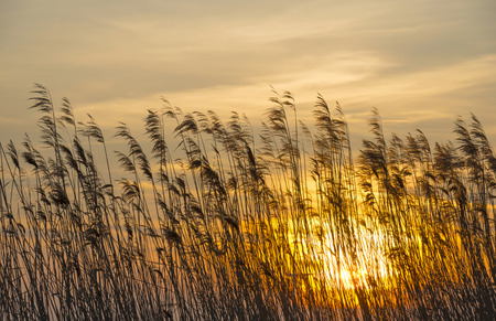 phragmites: Sunrise over reed in a field in winter