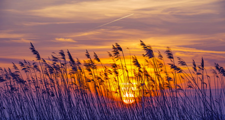 Sunrise in blue over reed in a field in winter  photo