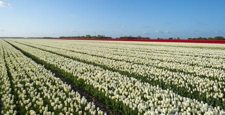 flevoland: Flower beds in spring in a dutch landscape