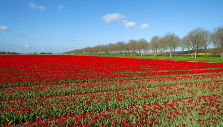 Field with tulips in spring photo