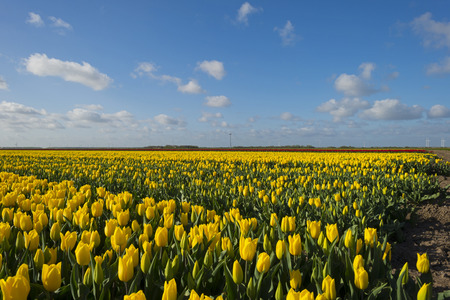 bloembollenvelden: Bulb fields in the countryside in spring