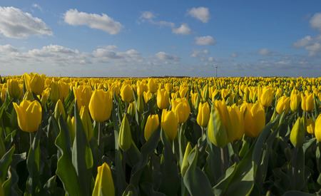 bulb fields: Bulb fields in the countryside in spring
