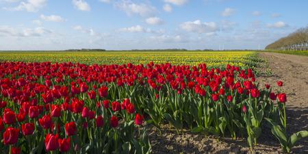 bloembollenvelden: Bollenvelden op het platteland in het voorjaar