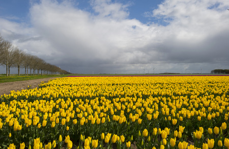 flevoland: Agriculture with flowers in spring