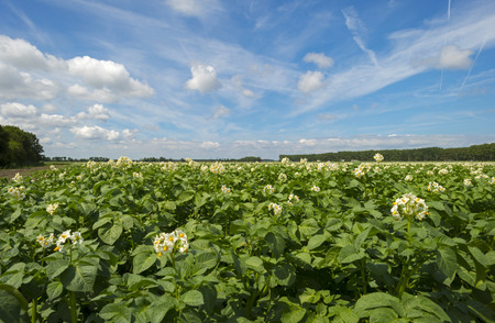 Potatoes growing on a field in spring photo
